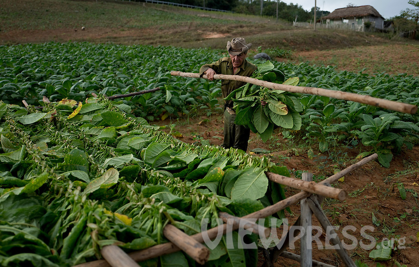 A worker picks tobacco leaves at a plantation in the western province of Pinar del Rio, Viñales, Cuba. February 28, 2017. Tourists from around the world visit to Cuba during the annual festival of the cigar, celebrate from February 27 to 3 of March.  VIEWpress/Eliana Aponte.