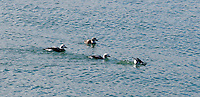 Four Long Tailed Ducks Swimmimg in Lake Ontario near Toronto, one diving