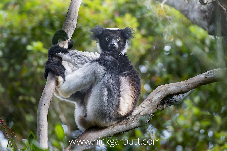 Adult Indri (Indri indri) resting in forest canopy. Mantadia National Park, Madagascar. IUCN: Endangered.