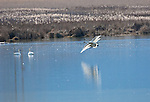 Idaho.  Bonners Ferry.  Two swans landing during spring migration in northern Idaho at the Boundary Creek Wildlife Management Area