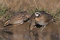 Northern Bobwhite, Colinus virginianus,male at pond, Starr County, Rio Grande Valley, Texas, USA, April 2002