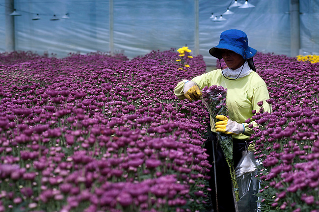 Inside of a greenhouse a flower farm worker gathers bunches of Chrysantemums to make into bouquets that will be shipped all over theworld.  Colombia is one of the world's biggest exporters of cut flowers because of its year round spring like temperatures.