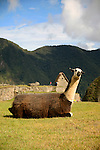 South America, Peru, Machu Picchu. Llama at Machu Picchu.
