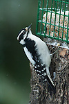 Idaho, Bonners Ferry.  Female Downy woodpecker (picoides pubescens) eating at the grease feeder in the winter