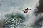 A pelican flies against an ocean surf pounding the rocks near it's rookery on the Oregon coast near Yaquina Head Lighthouse.