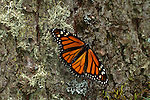 Monarch Butterfly, Danaus plexippus, El Chincua Nature Reserve,, resting on tree trunk, wings open, migration, roosting site, lifecycle metamorphosis orange pattern wing.Mexico....
