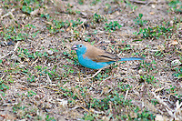 Blue Waxbill, Shire River, Liwonde NP, Malawi