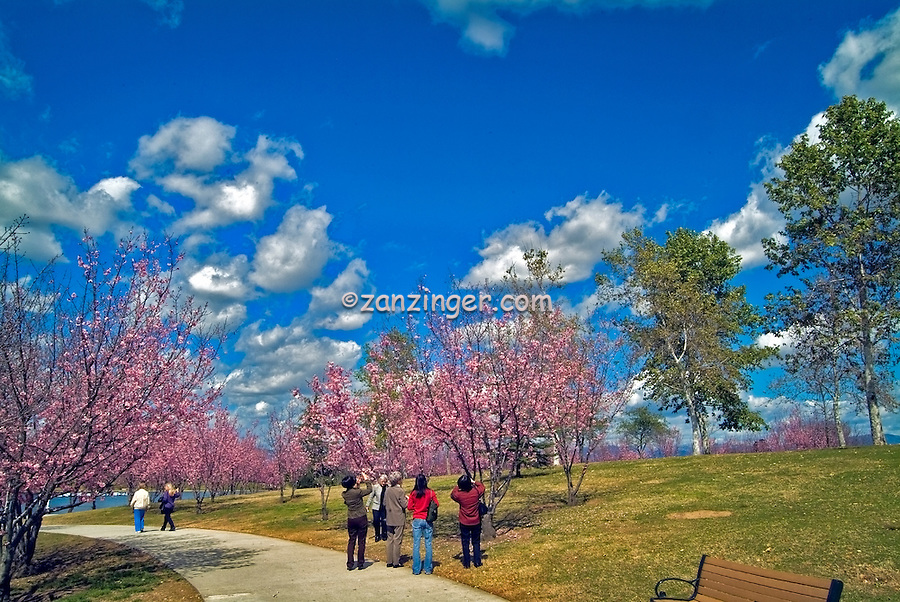 Lake Balboa San Fernando Valley, Cherry Blossom , Beilenson Park