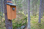 Tengmalms owl (Aegolius funereus) peering out of nestbox,  Bergslagen, Sweden. July 09..Camera details in Camera Data 1)