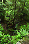 Bracken and ferns and moss covered trees. Stanley Park,Vancouver, British Columbia, Canada