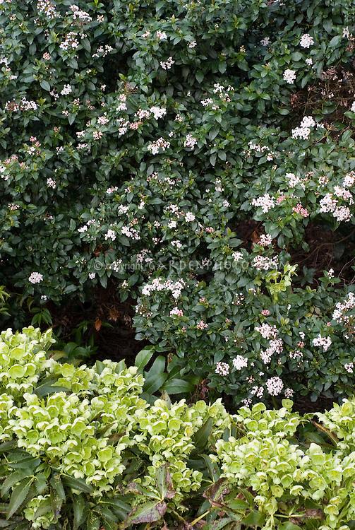 viburnum tinus 39 gwenllian 39 helleborus argutifolius. Black Bedroom Furniture Sets. Home Design Ideas