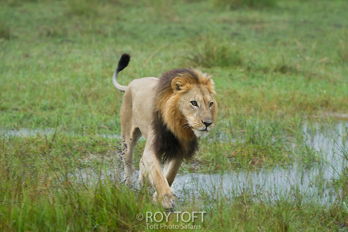 An African lion walking through the wetland, Botswana, Africa