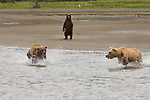Brown bears come to fish for salmon at the mouth of Silver Salmon Creek on the western shores of Cook Inlet in Lake Clark National Park,  Alaska