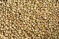 Dried organic coffee beans Finca Selva Negra near Metagalpa, Nicaragua