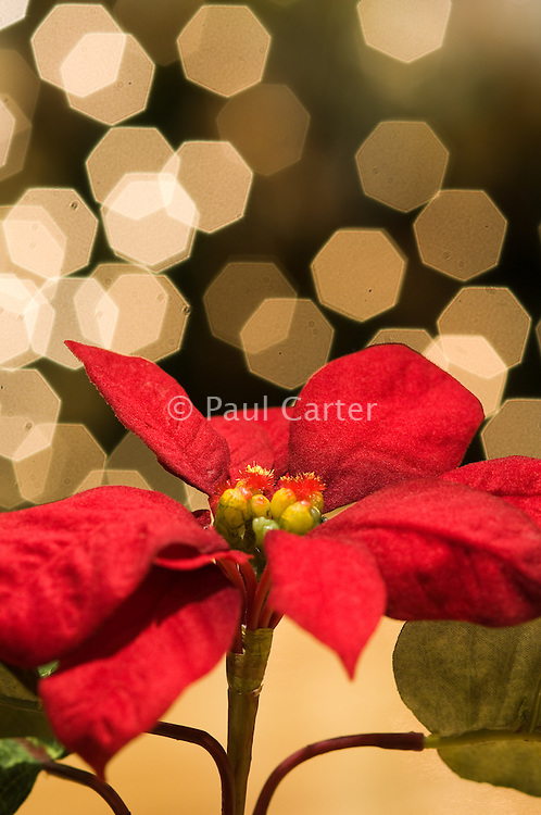 Table poinsettia.  Christmas decorations.