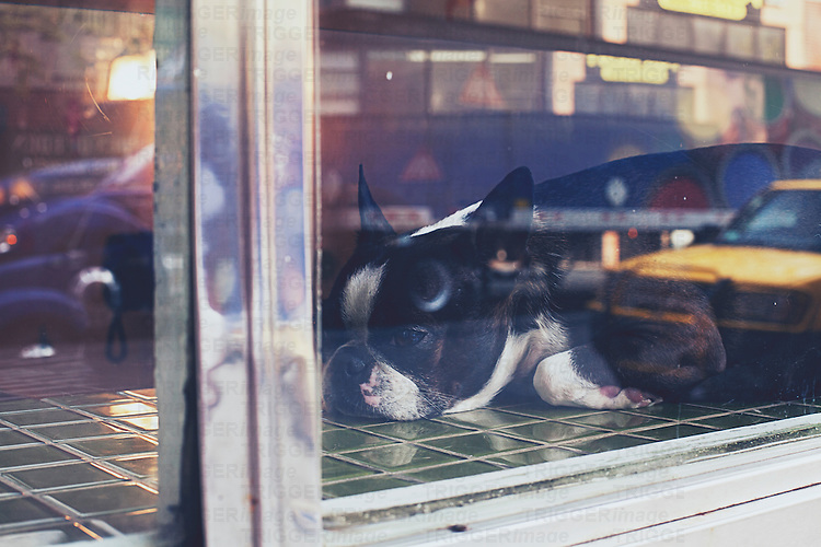 a dog relaxes in a shop window in new york city