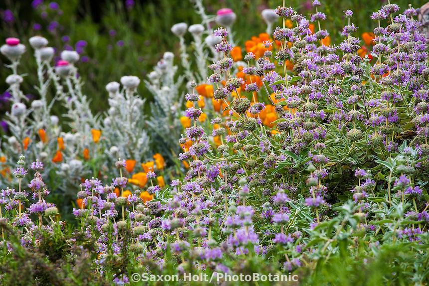Holt 980 022 cr2 photobotanic stock photography garden for Purple flower shrub california
