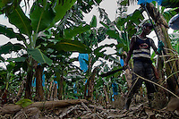 A Costa Rican worker cutting a bunch of bananas on the banana plantation near Puerto Limon, Costa Rica, 6 October 2004. Eighty percent of the exported bananas in the world are grown in Latin America. Local farms have no other alternative than to sell for a price offered by the multinational company. When working conditions and ecology is in question, the corporations do not have any responsibility as they do not own plantations. Local governments in the attempt of organizing banana export provide low duty taxes on export, they try to eliminate social and enviromental politics to attract the big companies to their countries.