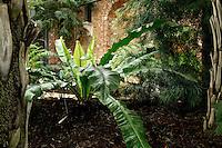Plant History Glasshouse (formerly Australian Glasshouse), 1830s, Rohault de Fleury, Jardin des Plantes, Museum National d'Histoire Naturelle, Paris, France. Detail of an Asplenium australasicum plant (Bird's Nest Fern).