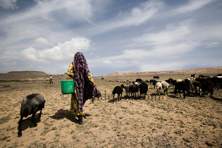 Yemen - Sana'a - Farmers pasturing their herd in the dry land, very few farmers haven't switched to qat as it's the most profitable crop . Yemen's economy depends heavily on oil production, and its government receives the vast majority of its revenue from oil taxes. Yet analysts predict that the country's petroleum output, which has declined over the last seven years, will fall to zero by 2017. The government has done little to plan for its post-oil future. Yemen's population, already the poorest on the Arabian peninsula and with an unemployment rate of 35%, is expected to double by 2035..The trends will exacerbate large and growing environmental problems, including the exhaustion of Yemen's groundwater resources. Given that a full 90% of the country's water is used for agriculture, this trend portends disaster..Sanaa's well are expected to dry out by 2015, partly due to illegal drilling, partly because 40% of the city's water is diverted for qat production, and partly because conservation rules are difficult to enforce. Only 20% of the houses receive water, the other 80% has to collect it from pumps and wells. 15% of the urban population only uses bottled water as its primary drinking water source and that is why Yemen has one of the highest world mortality rate, most of the diseases being related to water..