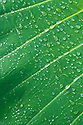 Raindrops on taro leaf; Hana Coast, Maui, Hawaii.
