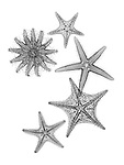 X-ray image of prickly sea stars (black on white) by Jim Wehtje, specialist in x-ray art and design images.