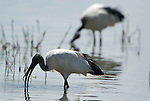 Sacred Ibis, Threskiornis aethiopicus, Lake Langano, Ethiopia, feeding in water, wading, pair, two, 2.Africa....