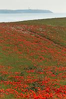 France, Pas-de-Calais (62), Côte d'Opale, champs de fleurs de coquelicots près de Wissant et  Cap Gris-Nez en fond // France, Pas de Calais, Cote d'Opale (Opal Coast), flower fields of poppies near Wissant , Cap Gris Nez in background