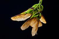Maple seed, or samara. The seed autorotate as it falls.