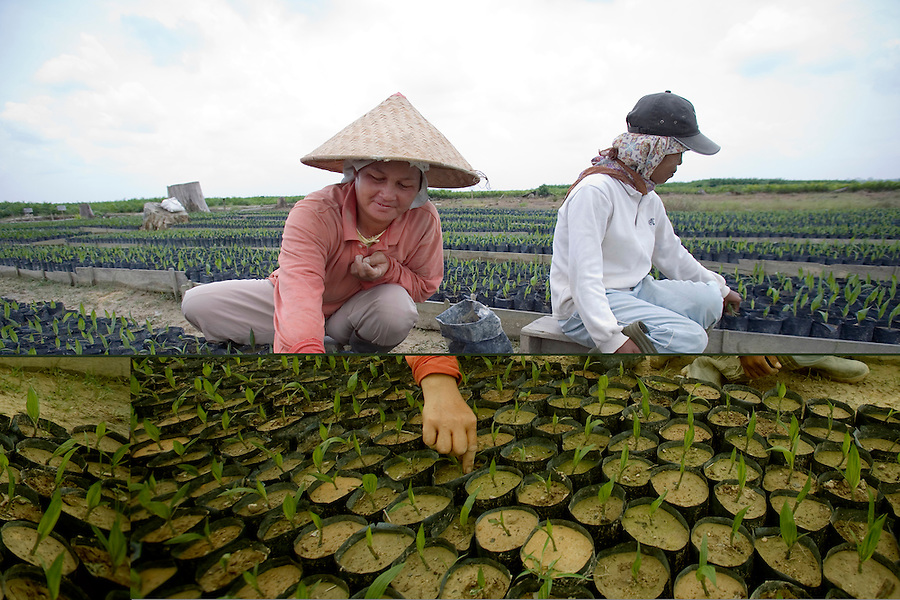 Indonesian workers carefully tend to newly planted palm oil shoots at a nursery in the Duta Palma plantation.