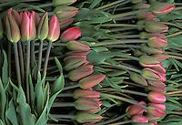 Arrangement of pink tulips, Mount Vernon, Skagit Valley, Washington