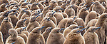 South Georgia Island, Gold Harbour, king penguin (Aptenodytes patagonicus) chicks