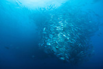 Cocos Island, Costa Rica; a massive school of Bigeye Jack (Caranx sexfasciatus) fish form a swirling tornado over 60 feet high in the blue water of the open ocean