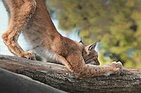 Lena, la lynx de Scandinavie, Eurasian lynx (Lynx lynx), new Parc Zoologique de Paris or Zoo de Vincennes, (Zoological Gardens of Paris or Vincennes Zoo), which reopened April 2014, part of the Museum national d'Histoire naturelle (National Museum of Natural History), 12th arrondissement, Paris, France. Picture by Manuel Cohen