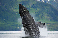 pu0822-D. Humpback Whale (Megaptera novaeangliae) breaching. Alaska, USA, Pacific Ocean..Photo Copyright © Brandon Cole. All rights reserved worldwide.  www.brandoncole.com..This photo is NOT free. It is NOT in the public domain. This photo is a Copyrighted Work, registered with the US Copyright Office. .Rights to reproduction of photograph granted only upon payment in full of agreed upon licensing fee. Any use of this photo prior to such payment is an infringement of copyright and punishable by fines up to  $150,000 USD...Brandon Cole.MARINE PHOTOGRAPHY.http://www.brandoncole.com.email: brandoncole@msn.com.4917 N. Boeing Rd..Spokane Valley, WA  99206  USA.tel: 509-535-3489