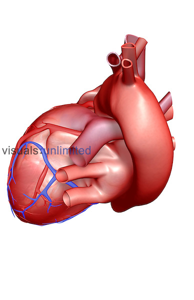 A superior view of the heart. The coronary blood vessels are also included. Royalty Free