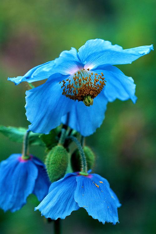 Close-up of flowers of Meconopsis betonicifolia, Himalayan Blue Poppy, Summer, Van Dusen Botanical Garden, Vancouver, BC