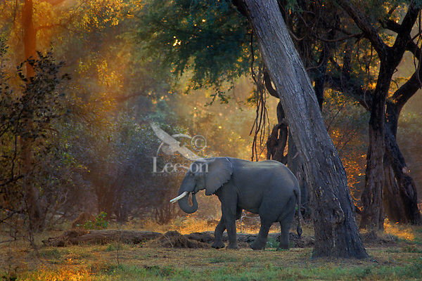 """African elephant bull (Loxodonta africana)  Early morning at Mana Pools National Park, Zimbabwe. This elephant is in what is called a """"gallery forest"""" (a forest growing along a watercourse in a region otherwise devoid of trees) habitat along the Zambezi River."""