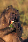 Chacma baboon, Papio cynocephalus ursinus, eating green monkey orange, Kruger National Park, South Africa