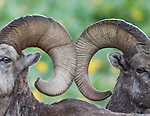 WILDLIFE / Bighorn Sheep Photography