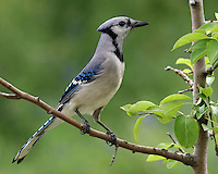 Blue Jay in an erect posture..