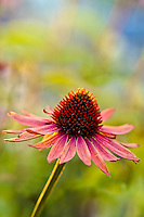 Echinacea 'Hot Lava'.A purple cone flower with deep orange red petals with even deeper red cones.