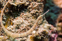 Andaman and Nicobar Islands, India, April 2008. a pipefish With Barefoot Scuba we dive the colourful coral reefs surrounding the islands and see a mulitude of fish. The remote Andaman Islands are an upcoming eco tourism and active adventure destination. Photo by Frits Meyst/Adventure4ever.com