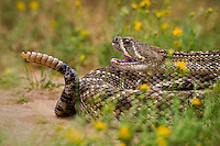 467010159 a wild western diamondback rattlesnake crotalus atrox lays coiled in a defensive threat posture in a small field of flowers on santa clara ranch starr county texas