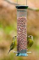 Pair of greenfinches pecking at peanuts in garden birdfeeder, Cotswolds, England