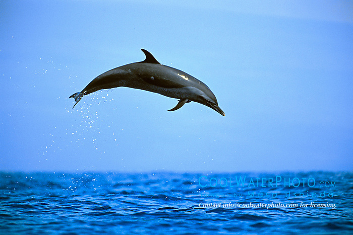 Pantropical Spotted Dolphins Jumping