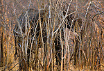 The African bush elephant is the largest living terrestrial animal, but they can still camouflage themselves effectively. This elephant hides its gray bulk in the brush of the Matetsi Reserve in Zimbabwe.