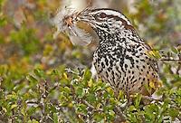 598060023 a wild cactus wren campylorhynchus brunniecapillus  at falcon dam state park rio grande valley texas united states