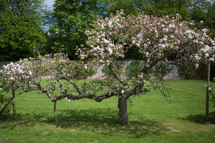Espalier apple tree, Rousham House and Garden