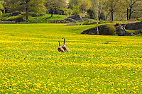 Sweden, Huddinge. Ågestasjön is a freswater lake and a protected area for birds. Canada Goose.